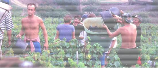 クロ・デュ・フィエフ 収穫の風景